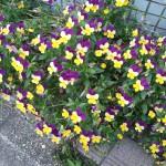 コーディネート上手な花 – ビオラ