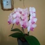 あこがれの胡蝶蘭が家にやってきた!